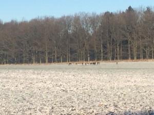 Dovhjortar betar i lugn och ro.