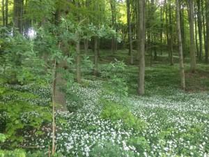 Ramslöken (Allium ursinum) blommar för fullt vid Tegelbruksbacken .