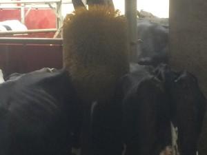 Två kor som delar borste samtidigt, smarta djur!