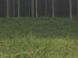 Hittade en rådjursbock som stod och glodde på mig helt orädd. Synd att jag inte kunde zooma mer men den finns där någonstans mitt på bilden.