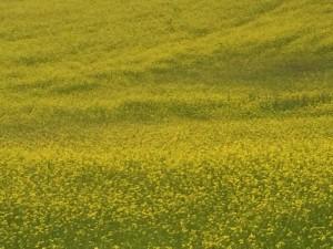 Cyklade förbi ett liten fält med vårraps, finns tydligen raps även i Dalarna och som blommar nu i Juli.