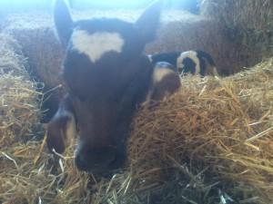 Var ute i stallet och flyttade kalvar. Denna röda tre dagar gamla kalven vid namn Rosa, försökte rymma i sin tillfälliga box i helt i halm. Det gick sådär kan jag berätta.