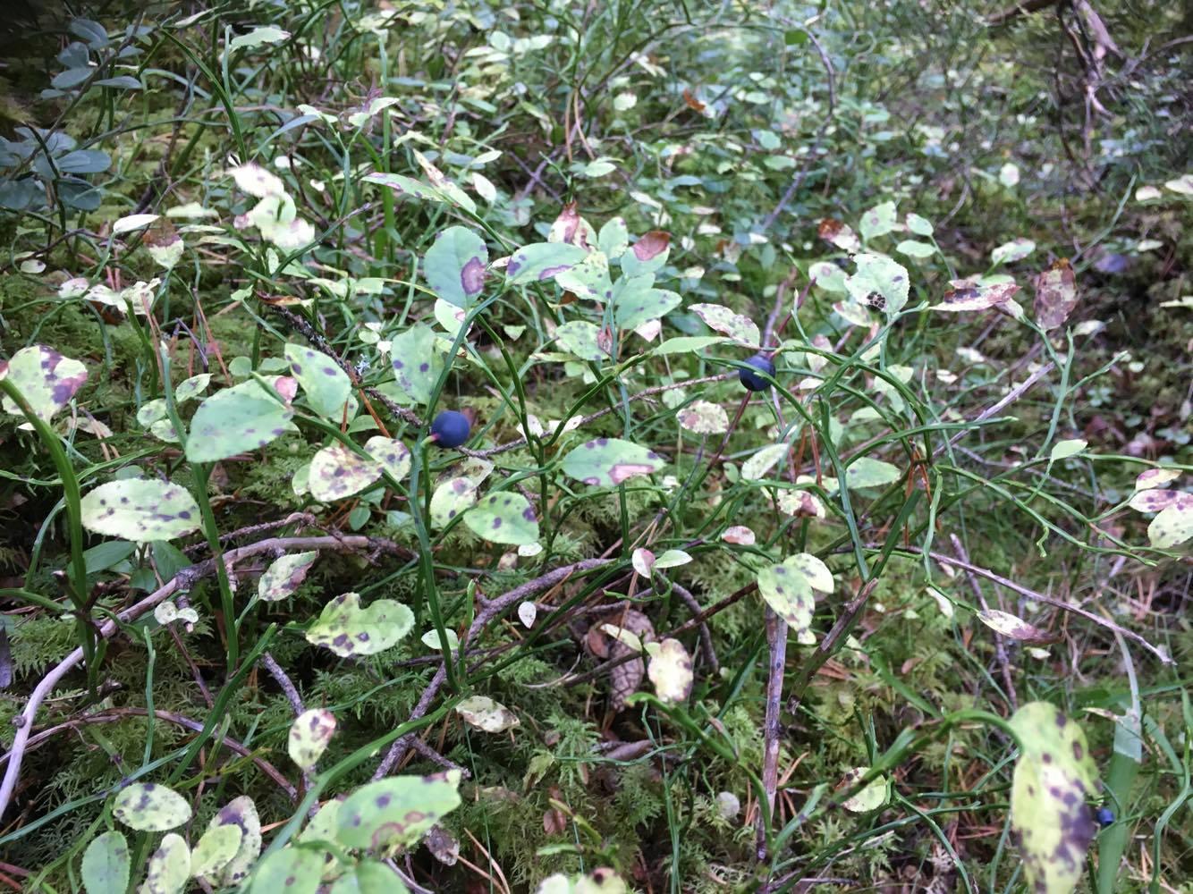 Har aldrig tidigare kunnat plocka blåbär i oktober månad men i Norrland kan man tydligen göra det, åtminstone på Frösön
